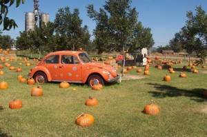 Pumpkin patch in Texas.