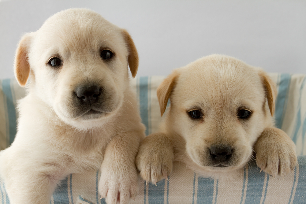 Tips For Housebreaking Your Puppy Steamers Carpet Care