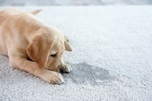 carpet cleaning services, pet odor removal